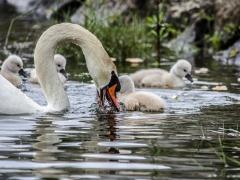 Cisnes (12)
