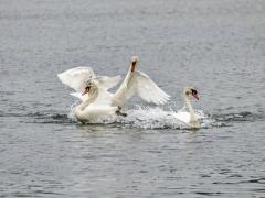 Cisnes (14)