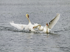Cisnes (16)