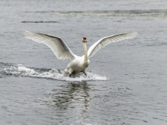 Cisnes (2)