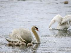 Cisnes (4)
