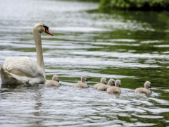Cisnes (5)