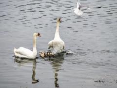 Cisnes (8)